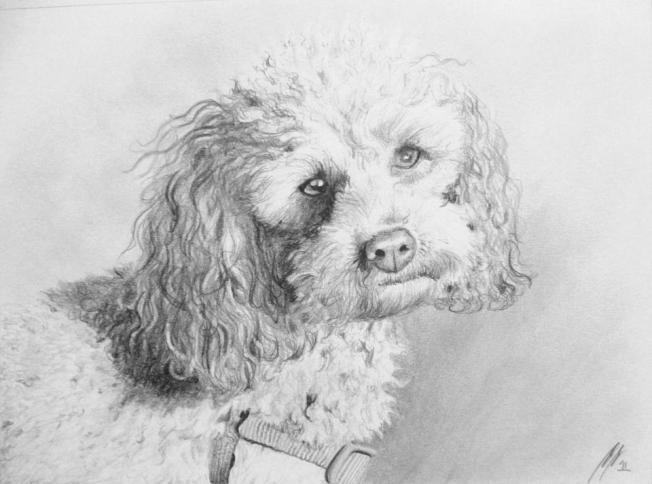 Pudel, Tierportrait, Bleistift auf Papier, A4